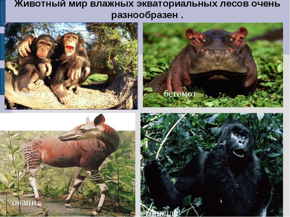 Животный мир влажных экваториальных лесов очень разнообразен . шимпанзе окапи...