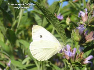 Появляются бабочки-капустницы.