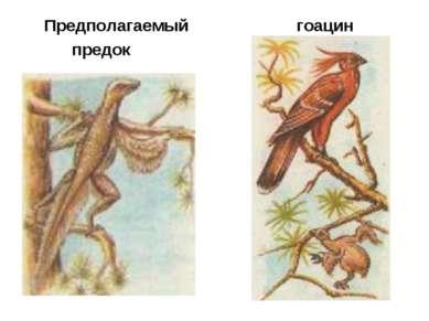 Предполагаемый предок гоацин
