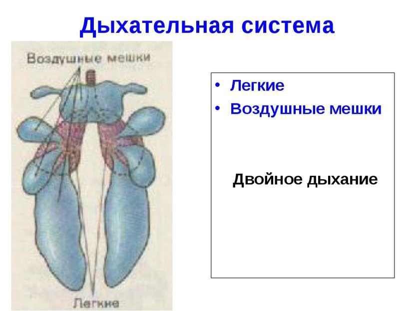 Дыхательная система Легкие Воздушные мешки Двойное дыхание