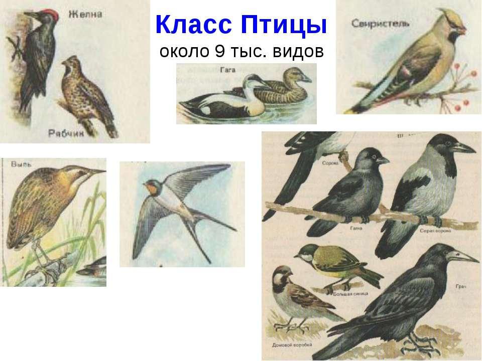 Класс Птицы около 9 тыс. видов