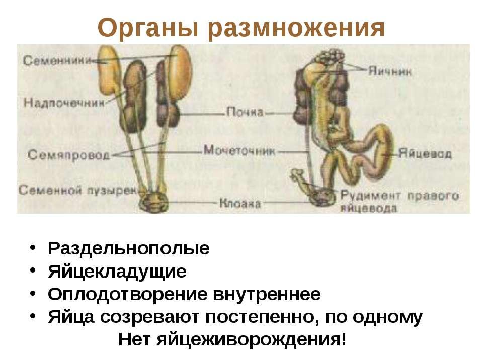 Органы размножения Раздельнополые Яйцекладущие Оплодотворение внутреннее Яйца...