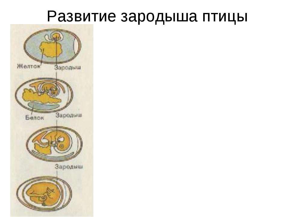 Развитие зародыша птицы
