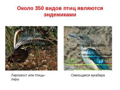 Около 350 видов птиц являются эндемиками Лирохвост или птицы-лиры Смеющаяся к...