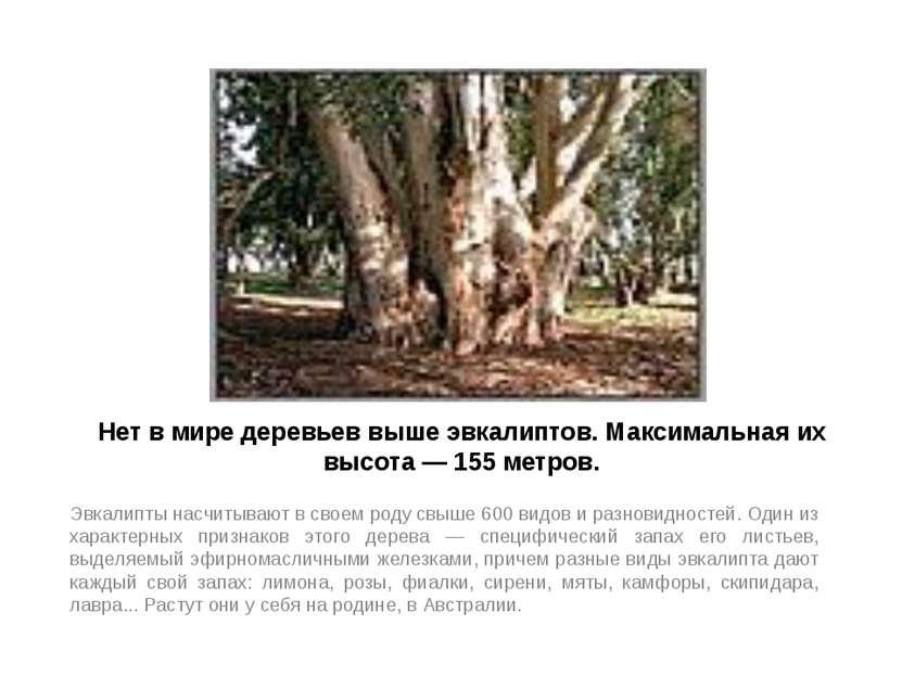 Нет в мире деревьев выше эвкалиптов. Максимальная их высота — 155 метров. Эвк...