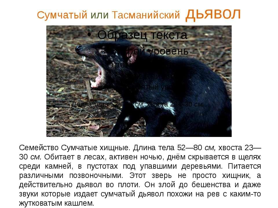 Сумчатый или Тасманийский дьявол Семейство Сумчатые хищные. Длина тела 52—80 ...