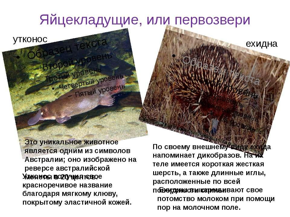 Яйцекладущие, или первозвери Это уникальное животное является одним из символ...