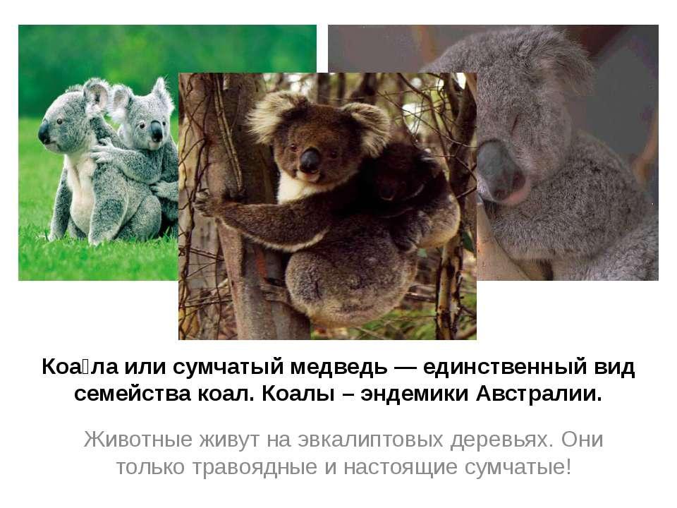 Коа ла или сумчатый медведь — единственный вид семейства коал. Коалы – эндеми...
