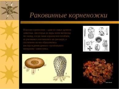 Раковинные корненожки Морские корненожки – одни из самых древних животных, не...