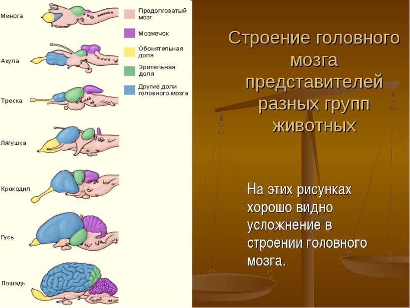 Строение головного мозга представителей разных групп животных На этих рисунка...