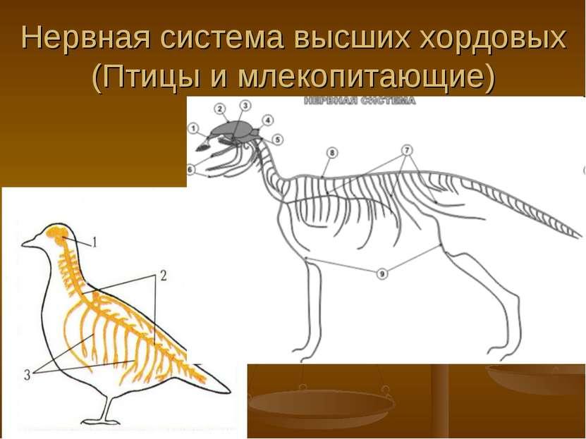 Нервная система высших хордовых (Птицы и млекопитающие)