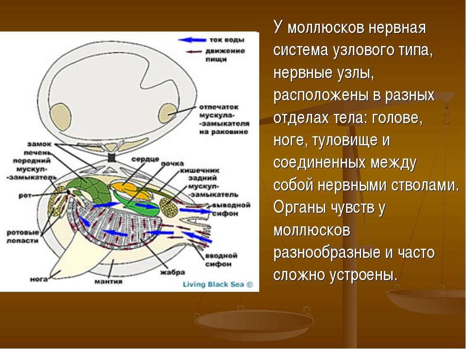 У моллюсков нервная система узлового типа, нервные узлы, расположены в разных...