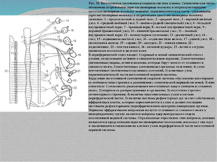 Рис. 32. Вегетативная (автономная) нервная система (схема). Симпатическая час...