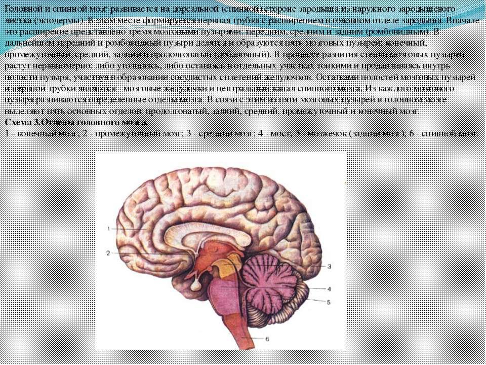Головной и спинной мозг развивается на дорсальной (спинной) стороне зародыша ...