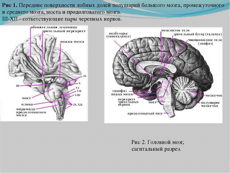 Рис 1. Передние поверхности лобных долей полушарий большого мозга, промежуточ...