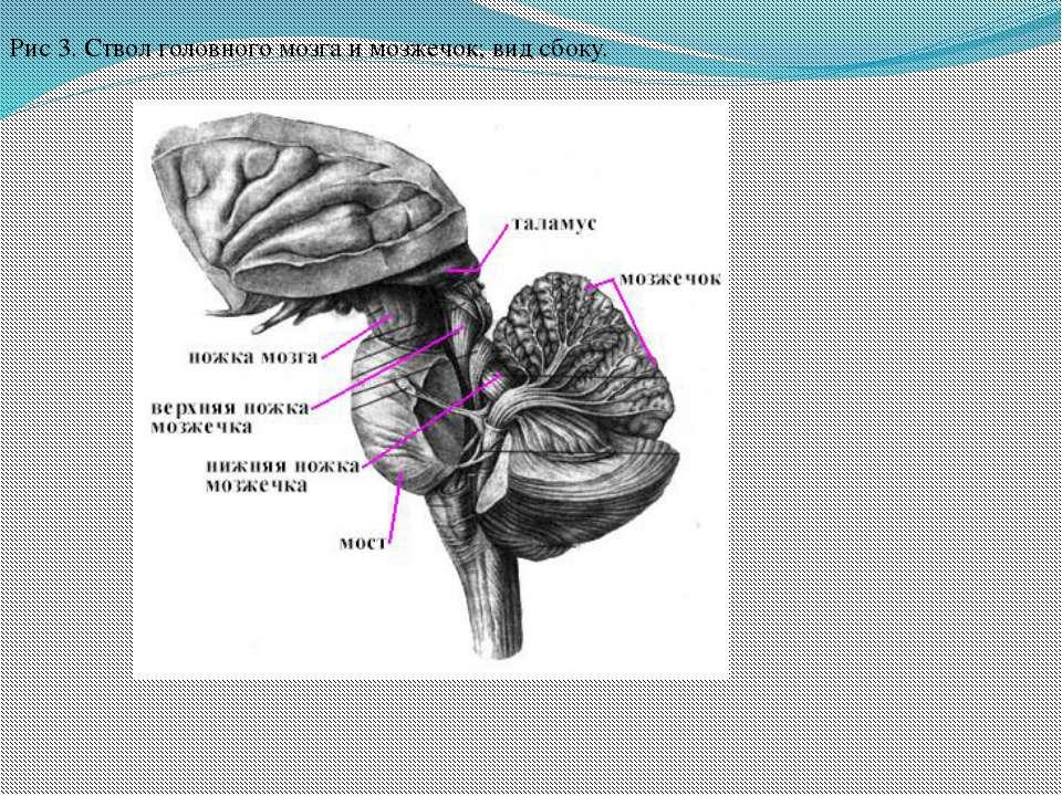 Рис 3. Ствол головного мозга и мозжечок; вид сбоку.