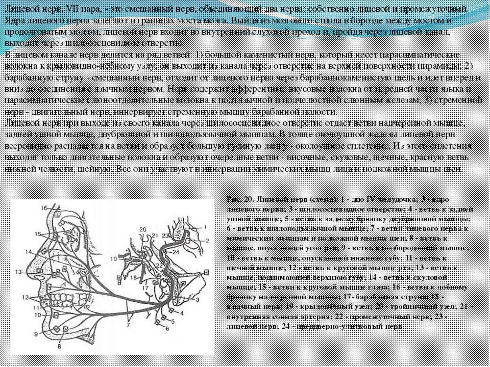Лицевой нерв, VII пара, - это смешанный нерв, объединяющий два нерва: собстве...