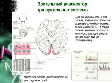Зрительный анализатор: три зрительных системы Зрительная система человека сос...