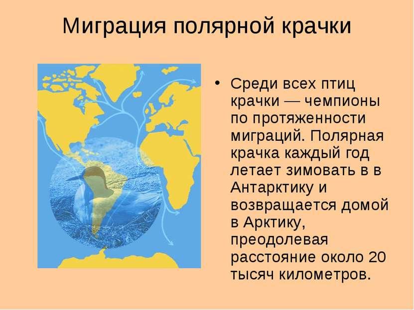 Миграция полярной крачки Среди всех птиц крачки — чемпионы по протяженности м...