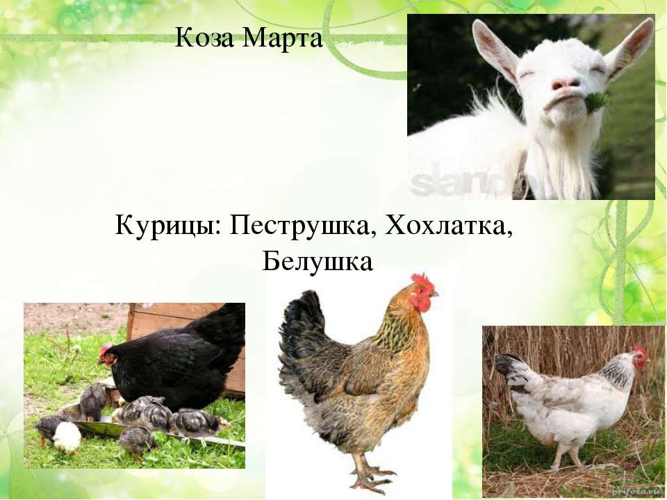 Коза Марта Курицы: Пеструшка, Хохлатка, Белушка