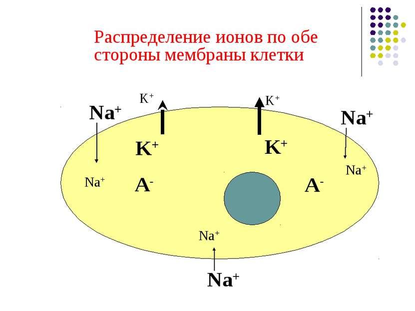 Распределение ионов по обе стороны мембраны клетки Na+ Na+ Na+ K+ K+ A- A- Na...