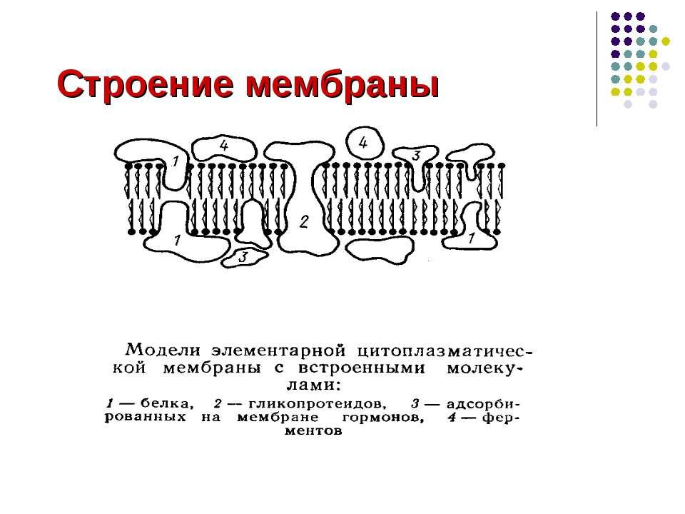 Строение мембраны