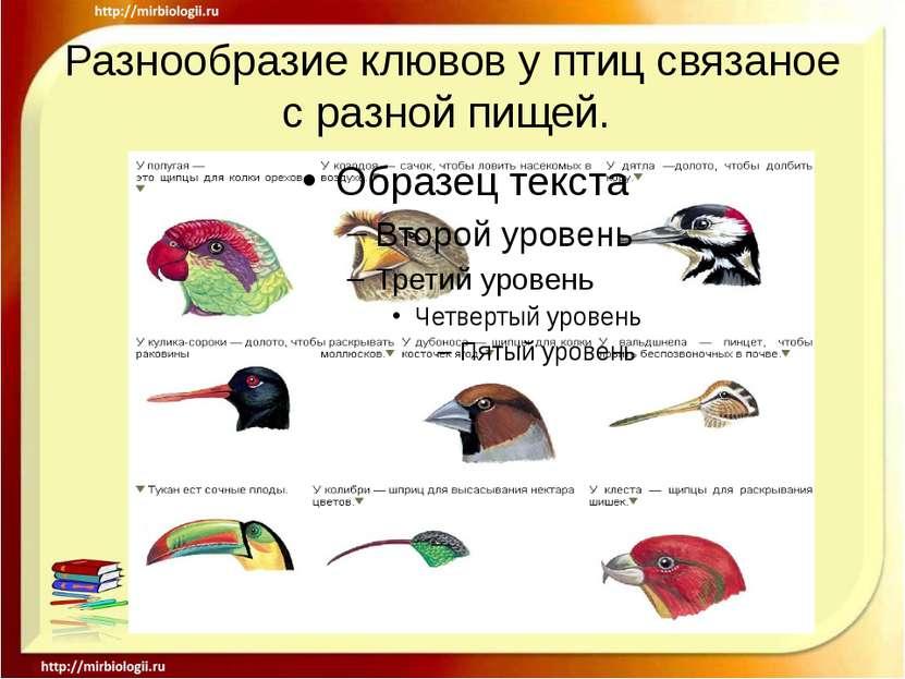 Разнообразие клювов у птиц связаное с разной пищей.