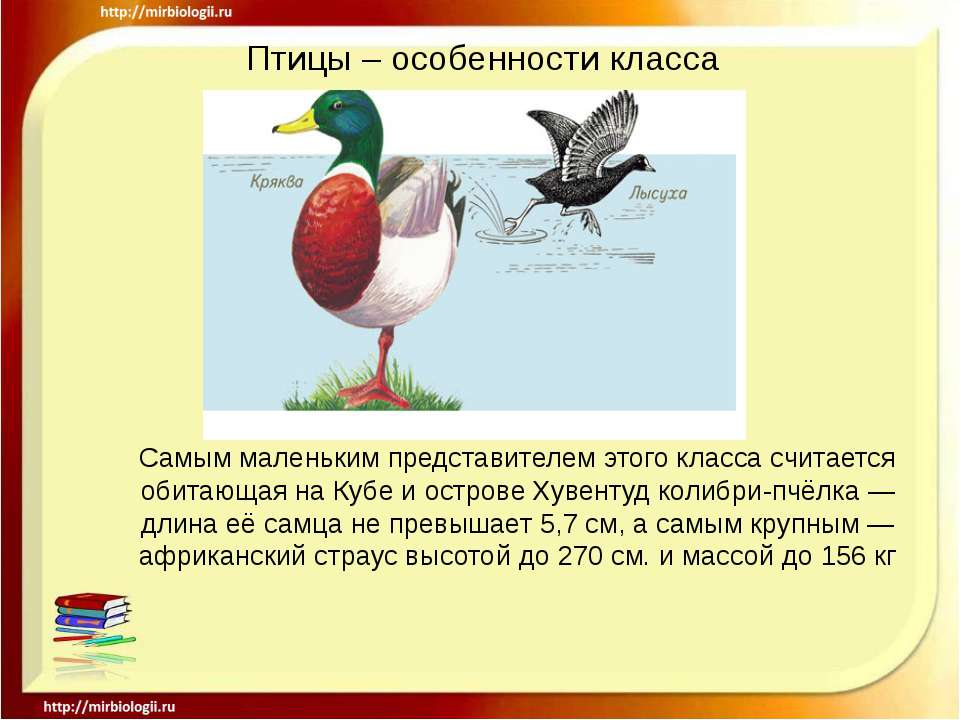 Птицы – особенности класса Самым маленьким представителем этого класса считае...