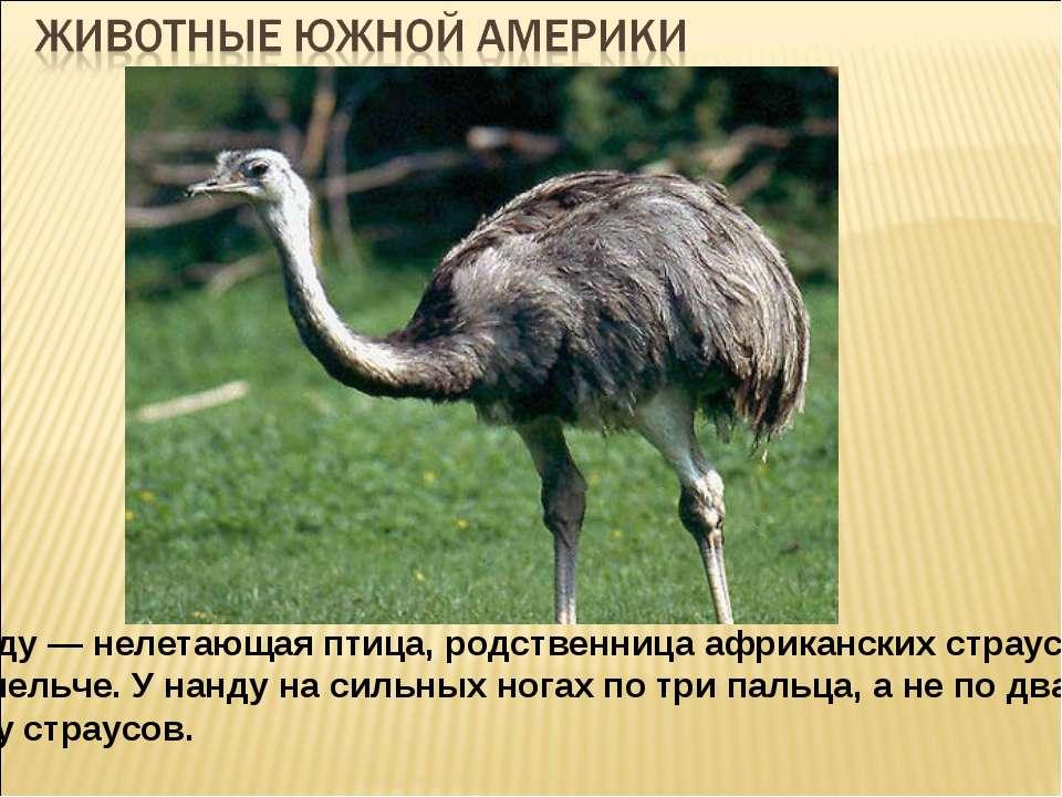 Нанду — нелетающая птица, родственница африканских страусов, но мельче. У нан...