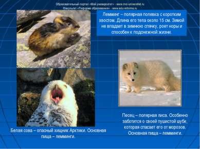 Лемминг – полярная полевка с коротким хвостом. Длина его тела около 15 см. Зи...