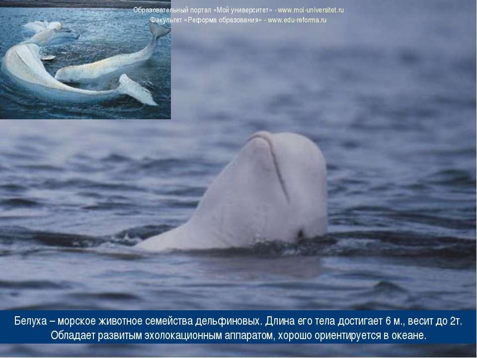 Белуха – морское животное семейства дельфиновых. Длина его тела достигает 6 м...