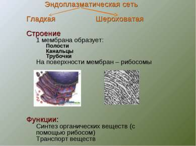 Эндоплазматическая сеть Гладкая Шероховатая Строение 1 мембрана образует: Пол...