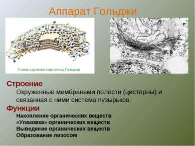 Строение Окруженные мембранами полости (цистерны) и связанная с ними система ...