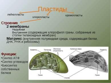 Строение 2 мембраны Наружная Внутренняя (содержащие хлорофилл граны, собранны...