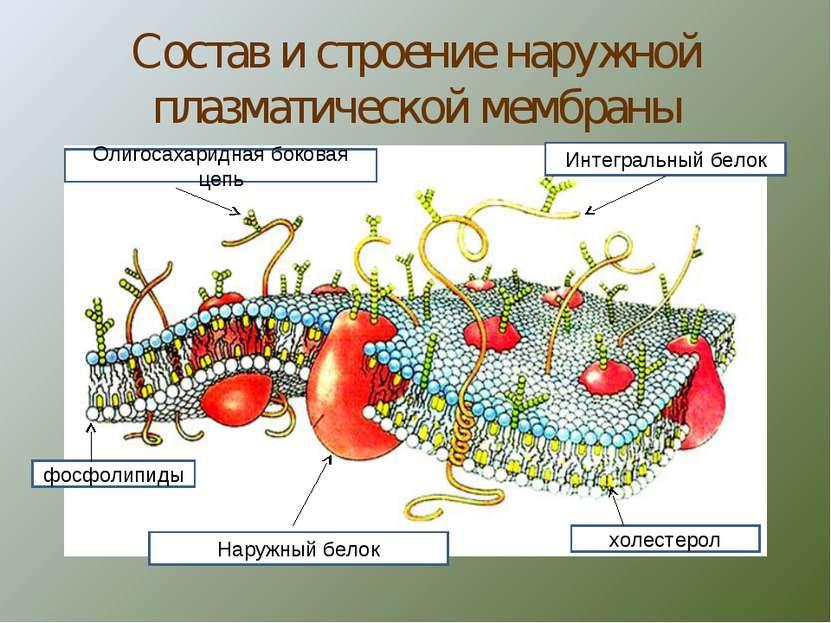 Состав и строение наружной плазматической мембраны Интегральный белок холесте...