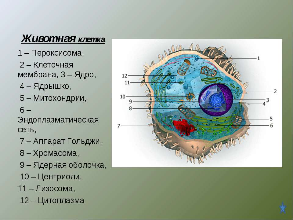 Животная клетка 1 – Пероксисома, 2 – Клеточная мембрана, 3 – Ядро, 4 – Ядрышк...