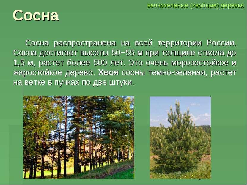 Сосна Сосна распространена на всей территории России. Сосна достигает высоты ...