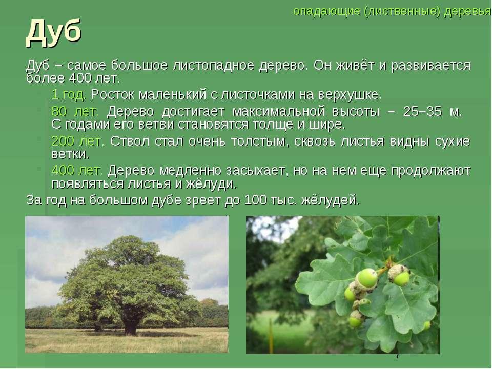 Дуб Дуб − самое большое листопадное дерево. Он живёт и развивается более 400 ...
