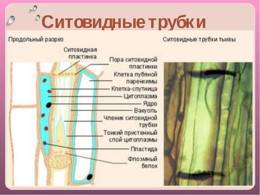 Закрепление знаний: Какая система органов выполняет транспортную функцию у ра...