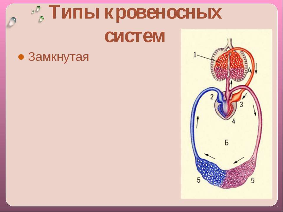 Замкнутая Типы кровеносных систем