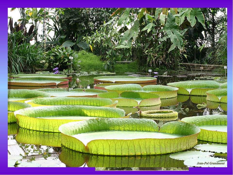 Эпифит— это какое-либо растение, которое произрастает на другом растении, пр...
