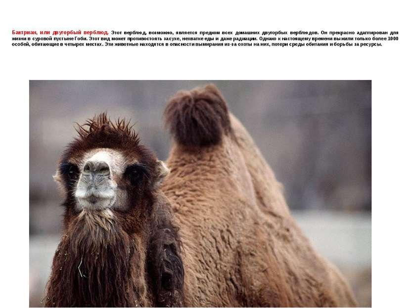 Бактриан, или двугорбый верблюд. Этот верблюд, возможно, является предком все...