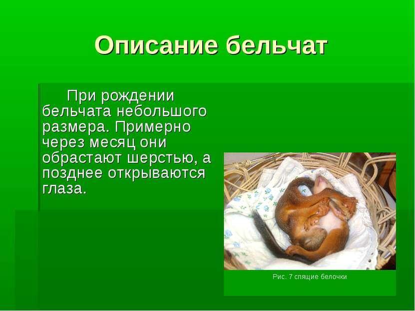 Описание бельчат При рождении бельчата небольшого размера. Примерно через мес...