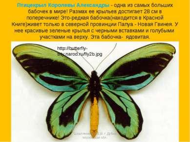 Птицекрыл Королевы Александры - одна из самых больших бабочек в мире! Размах ...