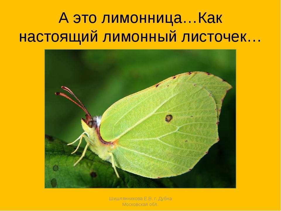 А это лимонница…Как настоящий лимонный листочек… Шишлянникова Е.В. г. Дубна М...