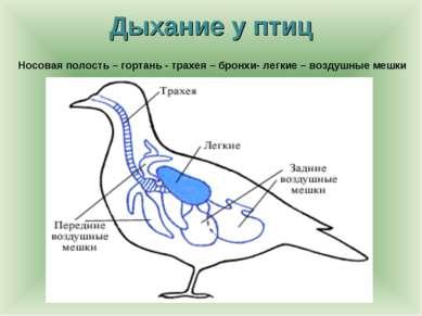 Дыхание у птиц Носовая полость – гортань - трахея – бронхи- легкие – воздушны...
