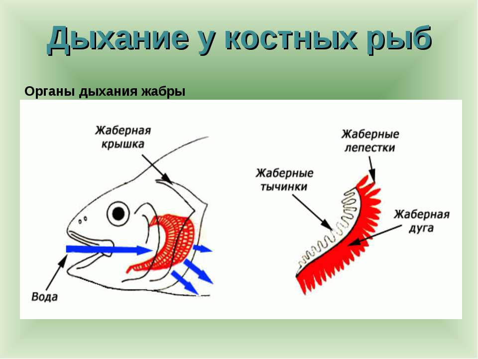 Дыхание у костных рыб Органы дыхания жабры