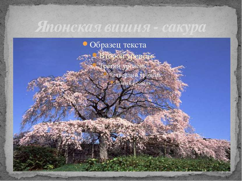 Японская вишня - сакура
