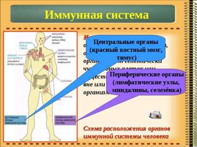 Иммунная система – объединяет органы и ткани, обеспечивающие защиту организма...