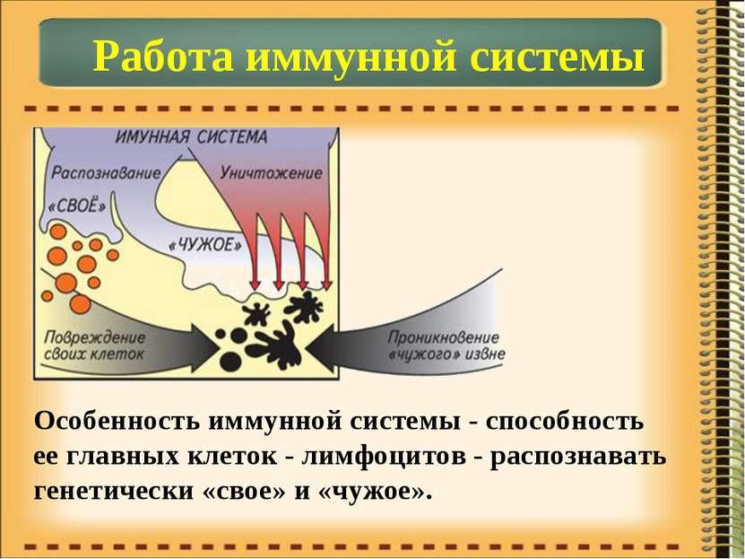Работа иммунной системы Особенность иммунной системы - способность ее главных...